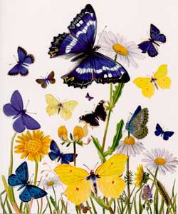 British Butterfly - Blank Card