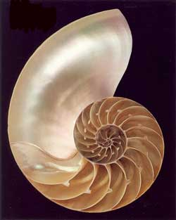 Nautilus Shell - Blank Card