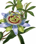 Passion Flower - Blank Card