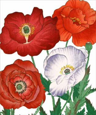 Red / White Poppies - Blank Card