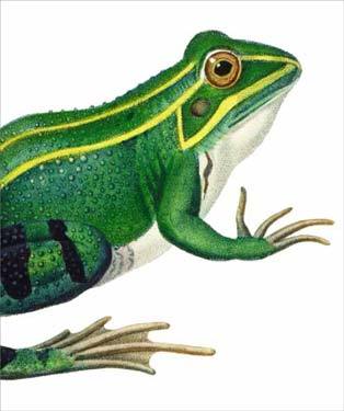 Green Frog - Blank Card