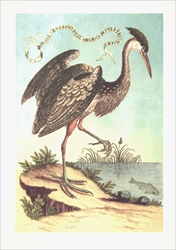 Heron of North America - Blank Card Blank