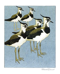 Young Lapwings - Black Card