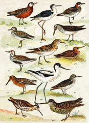British Wading Birds - Blank Card