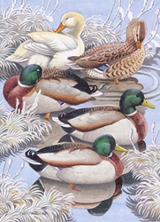 Mallard Ducks - Cello Packs Christmas